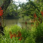 Cardinal flowers by creek (Mac Albin)