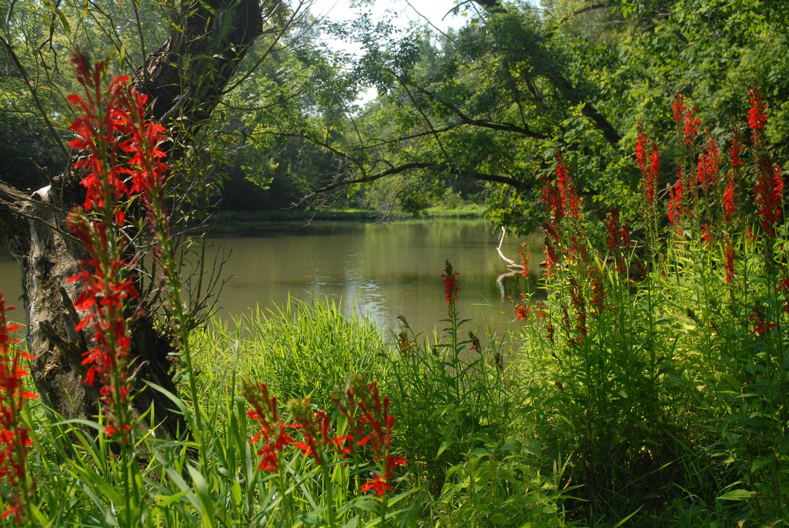 Battelle Darby Creek Metro Parks Central Ohio Park System Flower Val Pouch Kuning Cardinal Flowers By Mac Albin