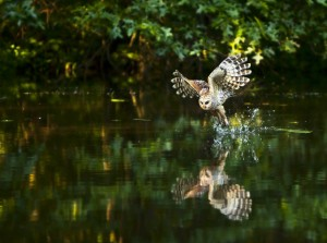 Blk barred owl fishing at ashton pond karl hassel metro for Fishing ponds columbus ohio