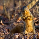 Fox squirrel (Chris Brinkman)