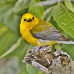 Prothonotary warbler (Terry Peck)