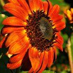 Mexican sunflower (Robert Shunk)