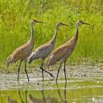 Sandhill cranes (Kim Graham)