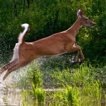 Deer leaping (Dan Ferrin)