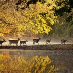 Deer on Big Darby Creek (Mark Romesser)