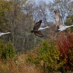 Sandhill cranes (Dan Ferrin)
