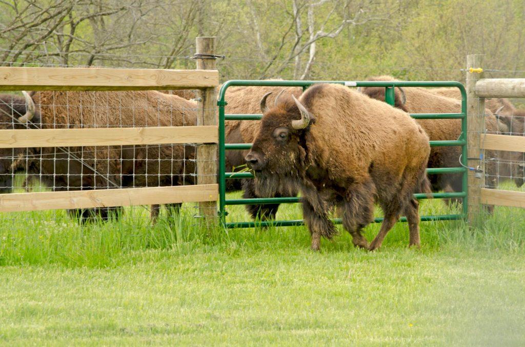 Bison at Battelle Darby Creek