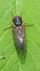 Cicada-Blog2