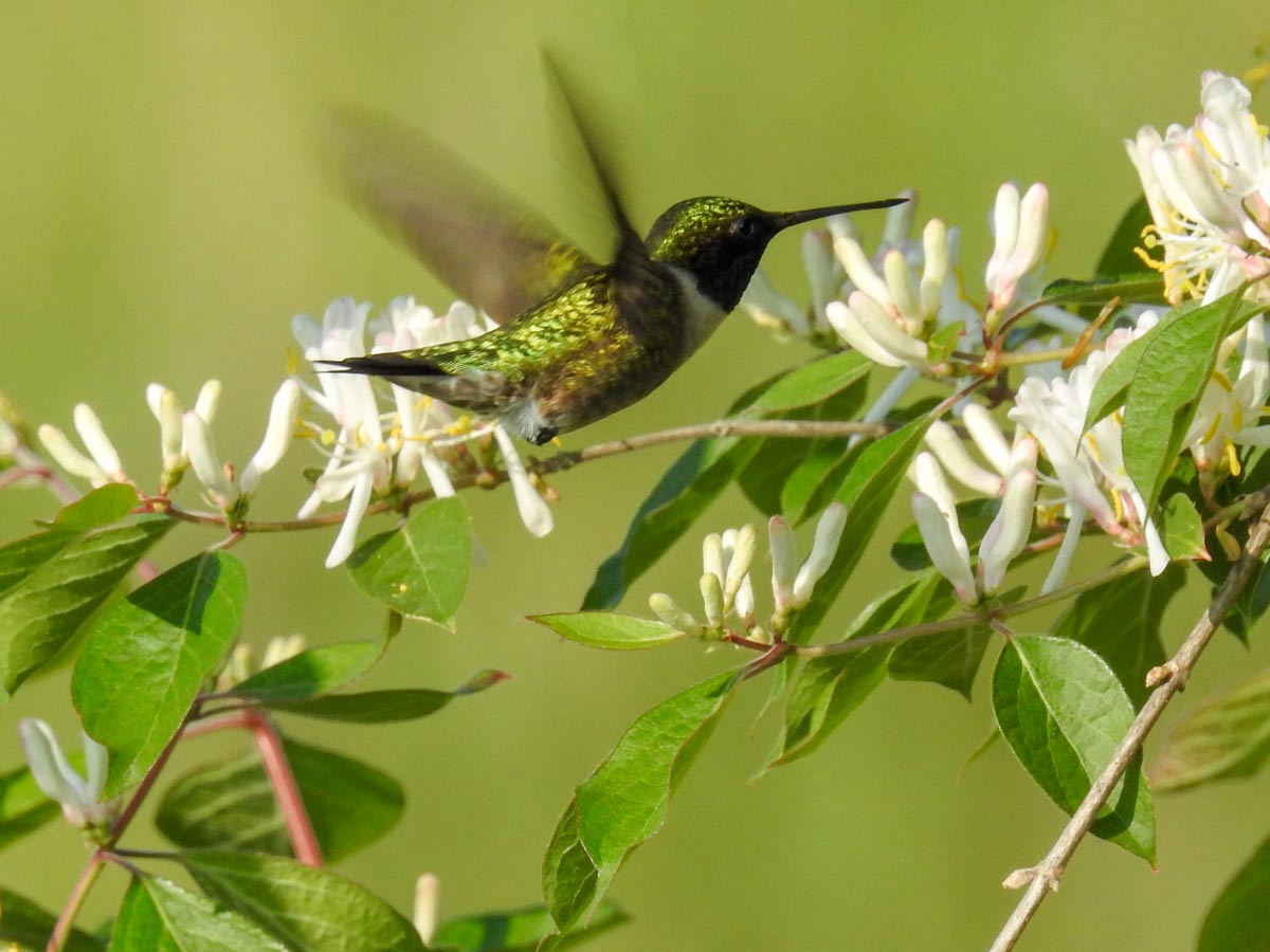 Gardening For Hummingbirds Metro Parks Central Ohio Park System
