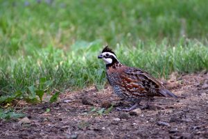 Northern bobwhite quail by Bryan Knowles