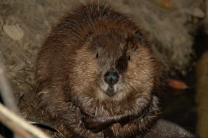beaver-at-THC_Andrew-Boose-1080px