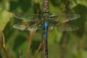 green-darner-dragonfly_male_Mac-Albin-1080px