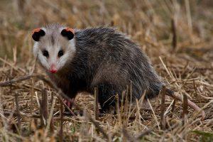 opossum_Dan-Ferrin-1080px