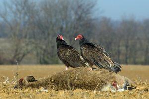 vulture_turkey-vultures-and-roadkill_Robert-Glotzhober-1080px