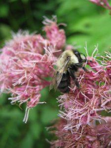 Bee-on-milkweed-1080px