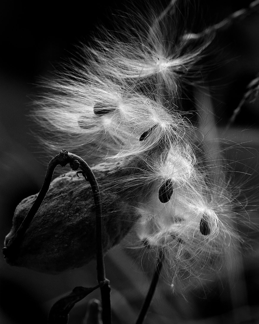 Best of Show, 2015 Nature Print Contest (Milkweed Fluff by Floyd Siebert)