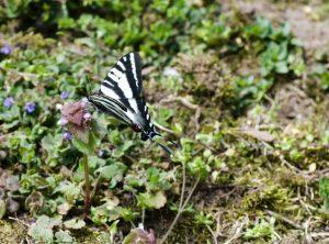 Zebra swallowtail by Alli Shaw