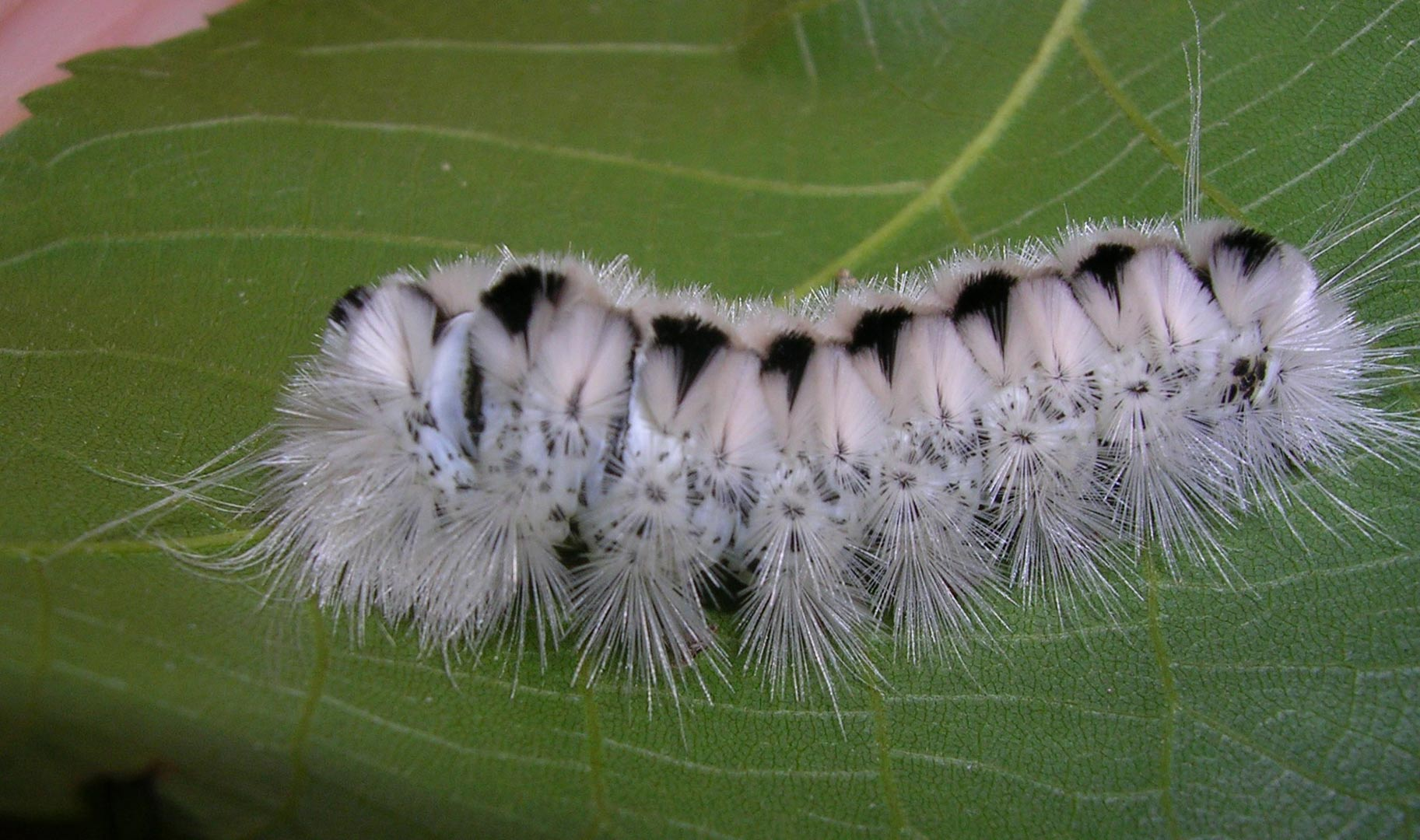 Myth Busting The Hickory Tussock Moth Caterpillar Metro Parks