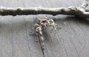 Tan jumping spider by Alli Shaw