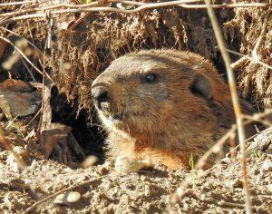 groundhog-in-burrow_hbk_march_adam-brandemihl-1080px