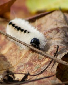 hickory-tussock-moth-caterpillar_clc-frank-kozarich-1080px