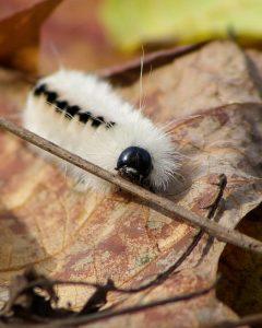 hickory-tussock-moth-caterpillar_clc-frank-kozarich-1080px