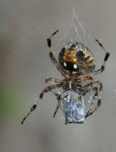 Orb weaver by Laura Anthony