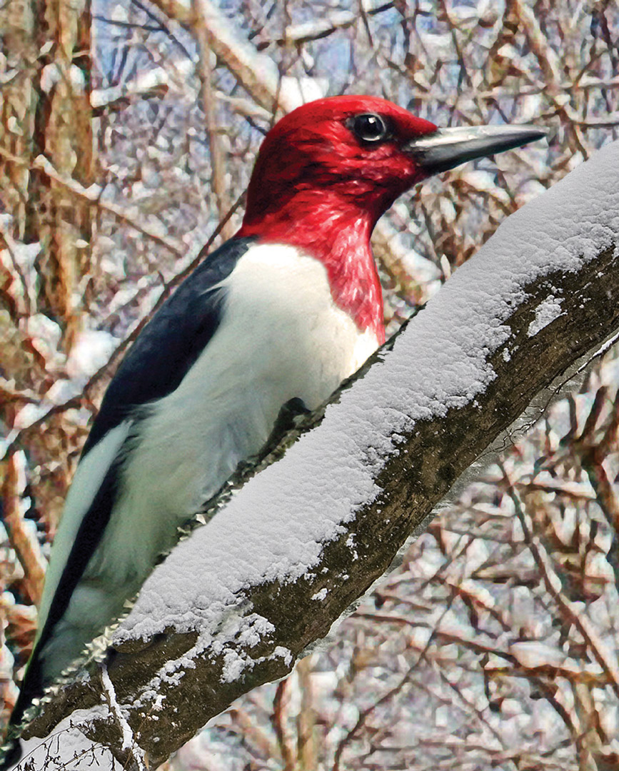 Red-headed woodpecker at Blacklick Woods (Barb Nye)