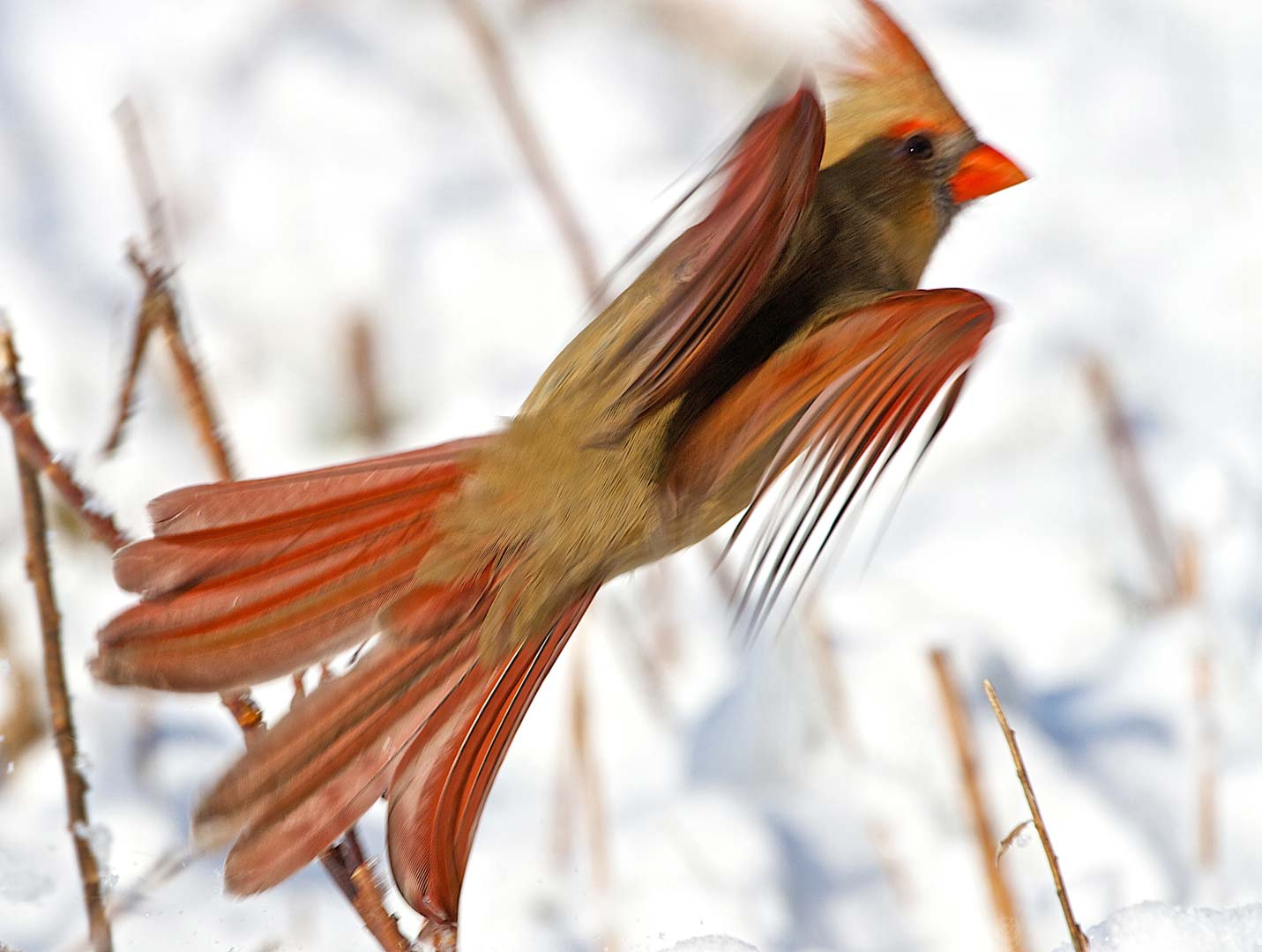 Even a common bird might offer an uncommon sight, like this cardinal in flight. (Dan Ferrin)