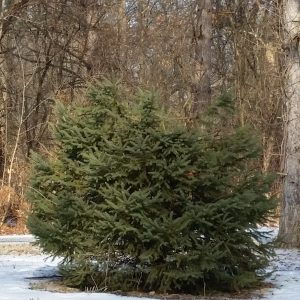 A spruce tree with its top removed outside the entrance to Sharon Woods Metro Park