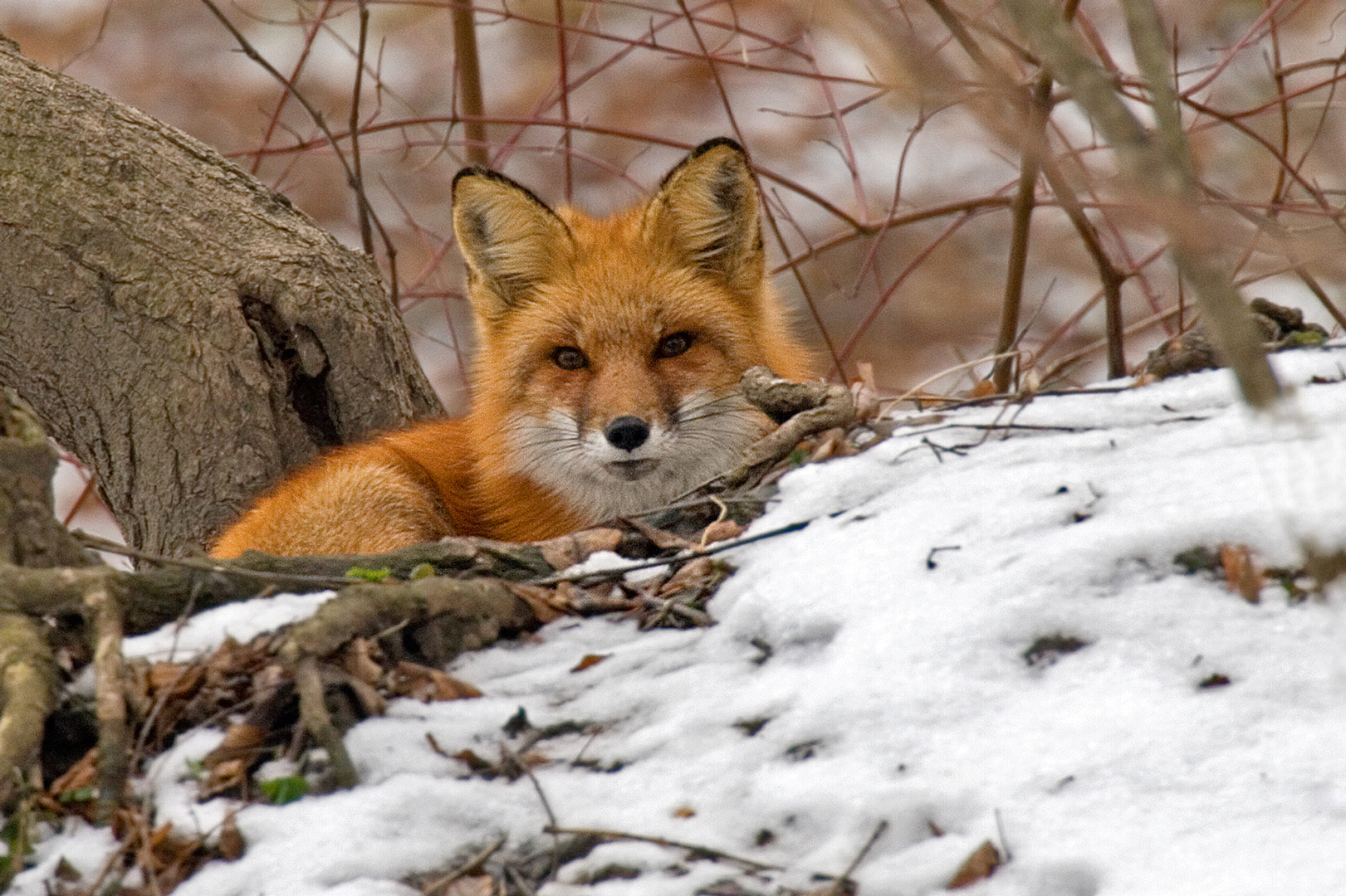 Red fox chilling in the snow. (Kim Graham)