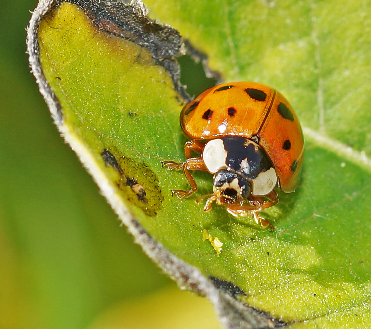 Rather valuable predators of the asian lady beetle have
