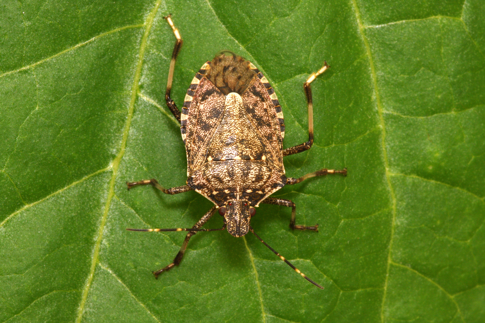 Brown marmorated stink bug (Gary Bernon, USDA)