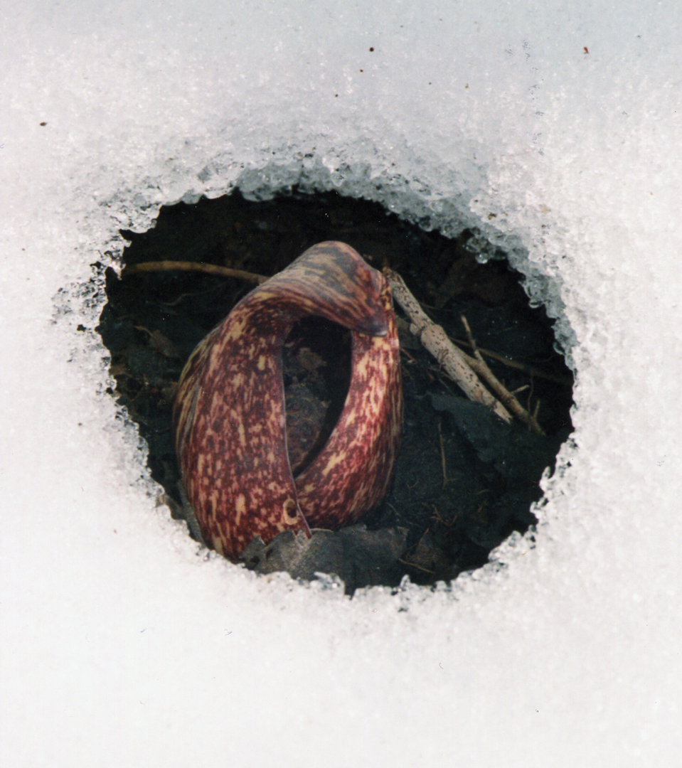The early growth of skunk cabbage produces enough heat to melt snow and ice. Photo Christopher Graham