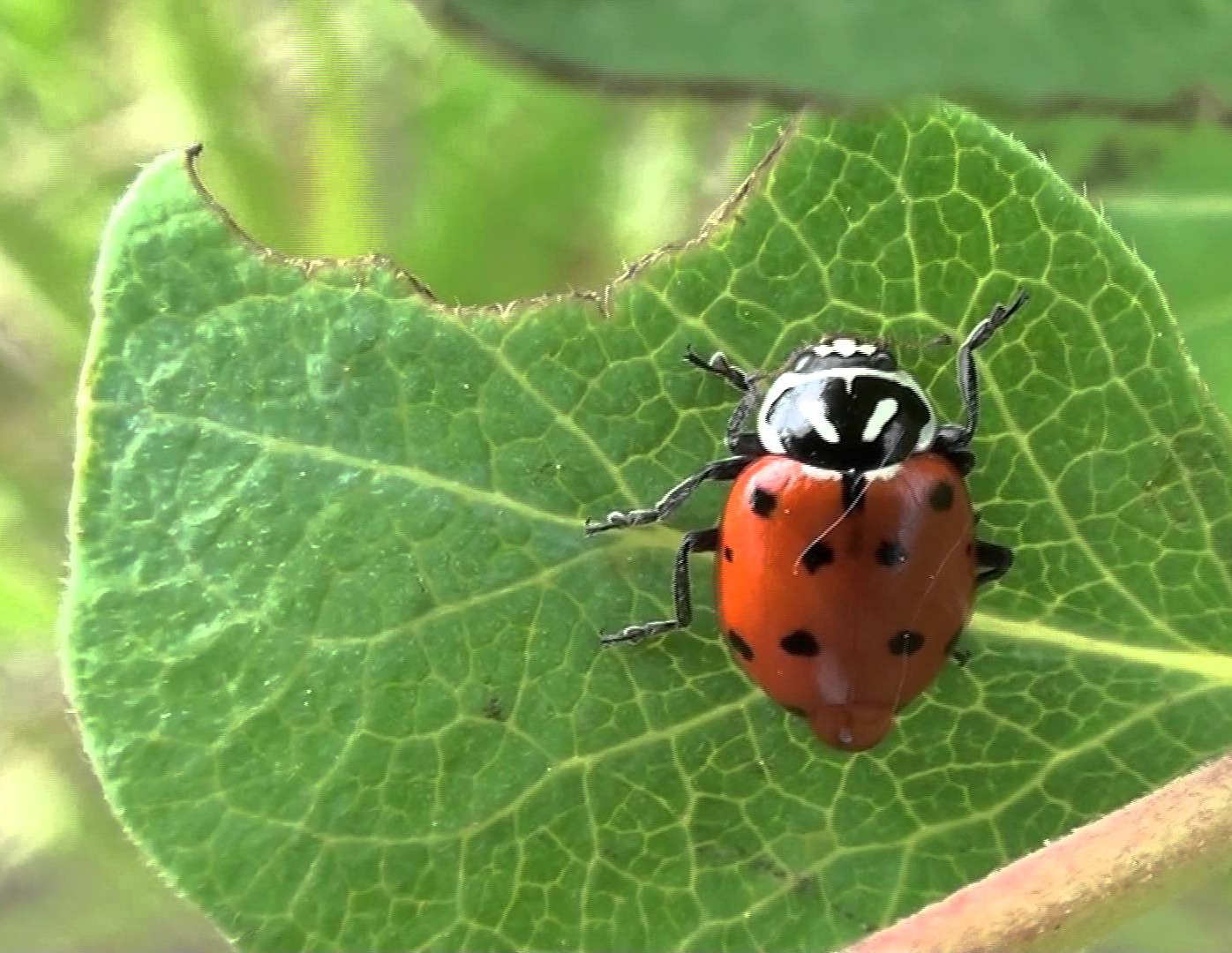 Stink bugs and lady beetles - Metro Parks - Central Ohio