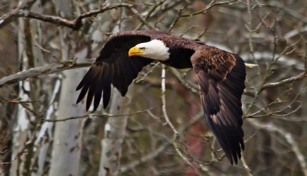 Eagle in flight through the trees at Highbanks. (Dale Miller)