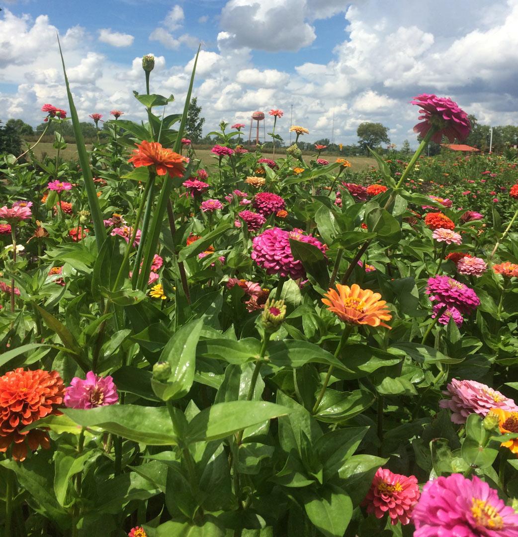 1080p_zinnias In SIO Butterfly Garden