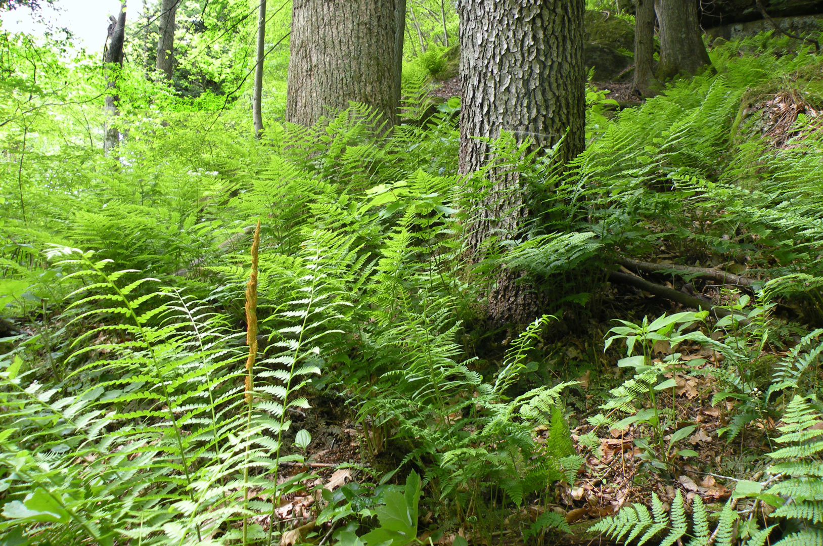 Ferns Add Beauty To Forests And To Gardens Metro Parks Central