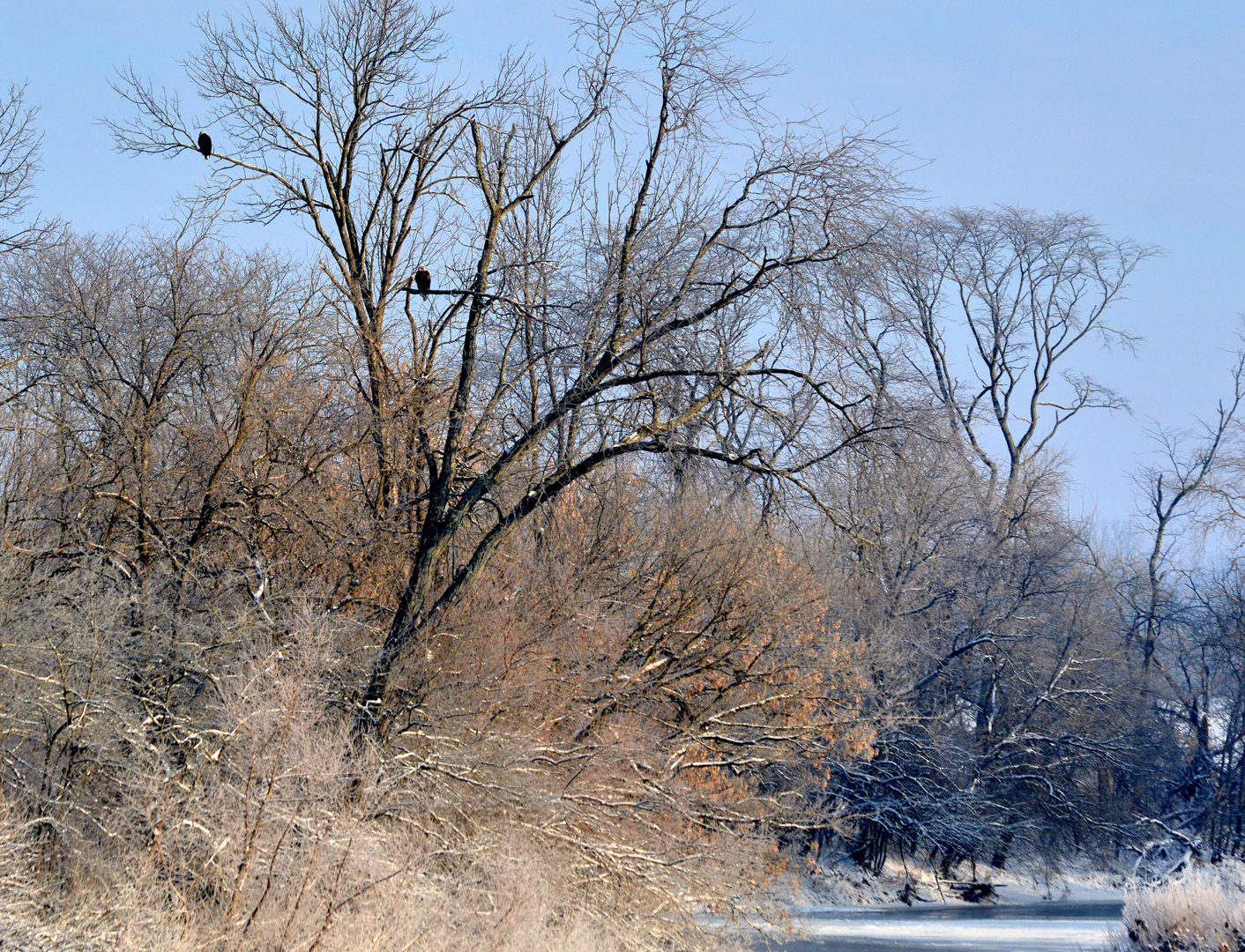 Eagles perch in a sycamore tree along the Olentangy River at Highbanks Metro Park. (photo by Tom Kitchen)