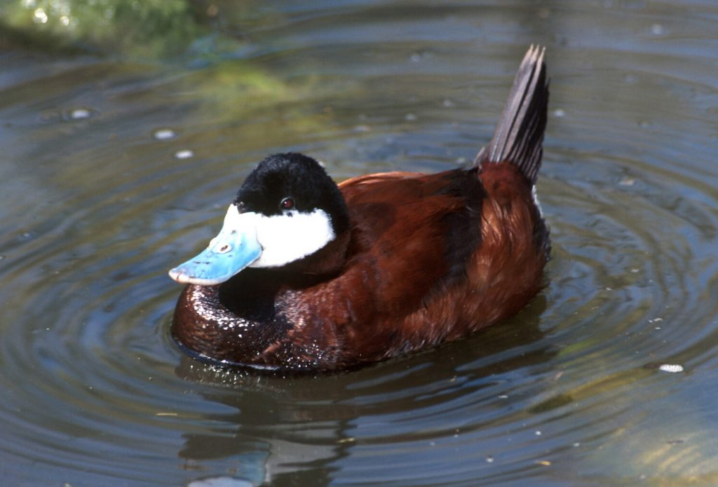 Ruddy duck floats on pond