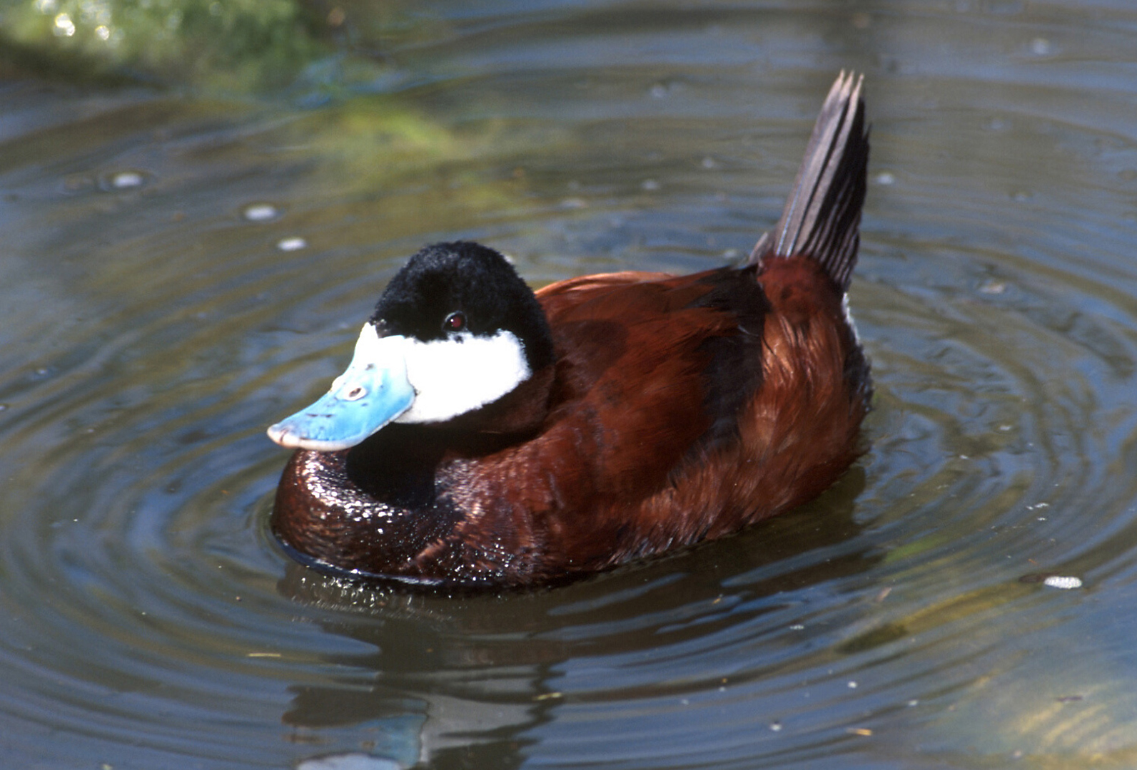 Ruddy duck on pond.
