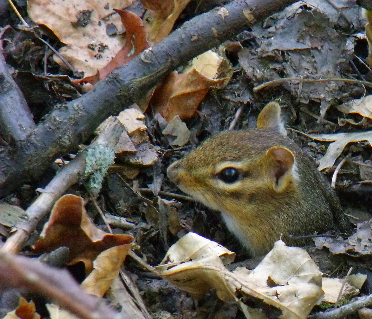 Insects are the usual residents of leaf litter, but here a chipmunk peeks its head above a stretch of leaf litter at Blacklick Woods.