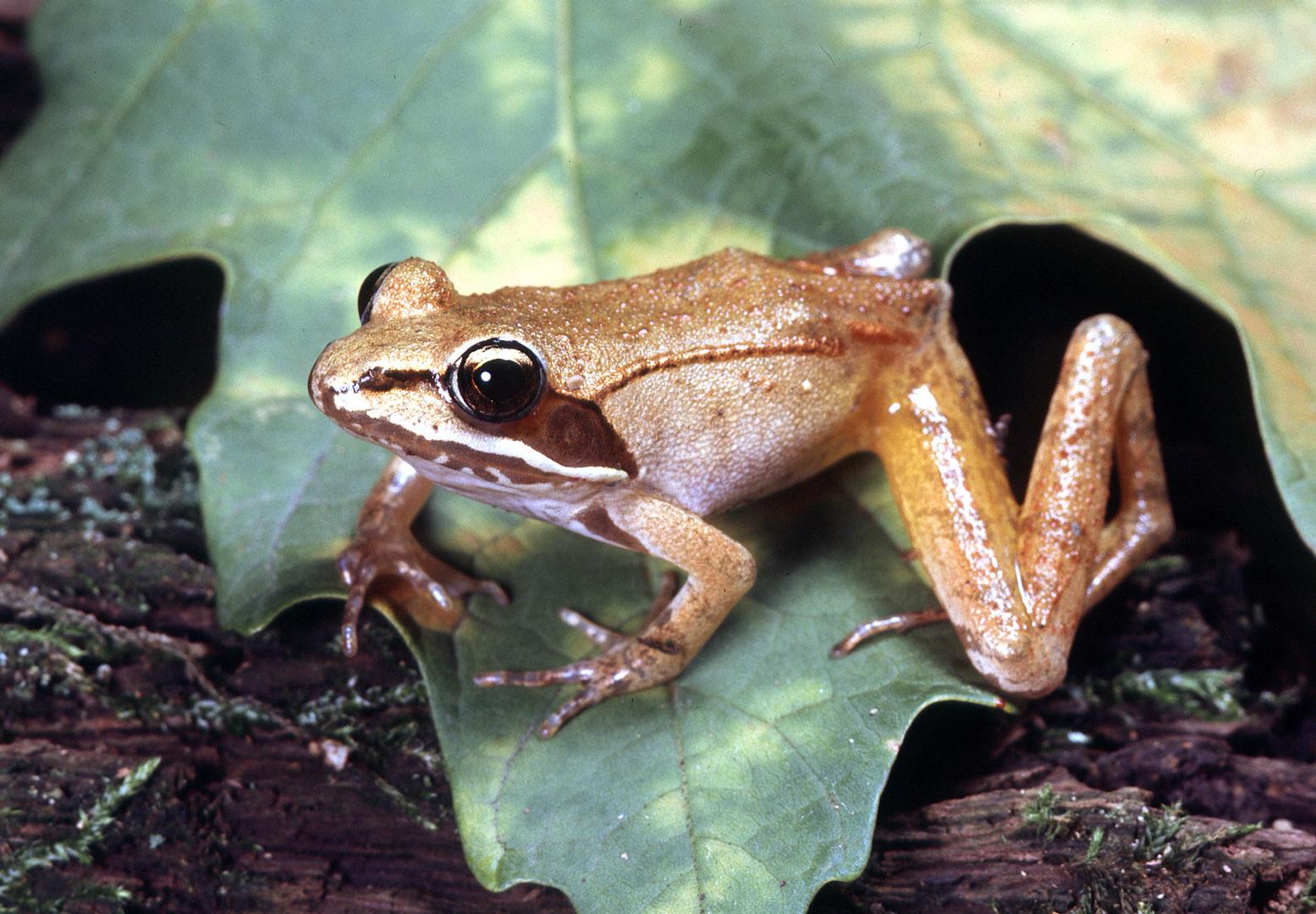 Wood frog on a leaf is a harbinger of spring.