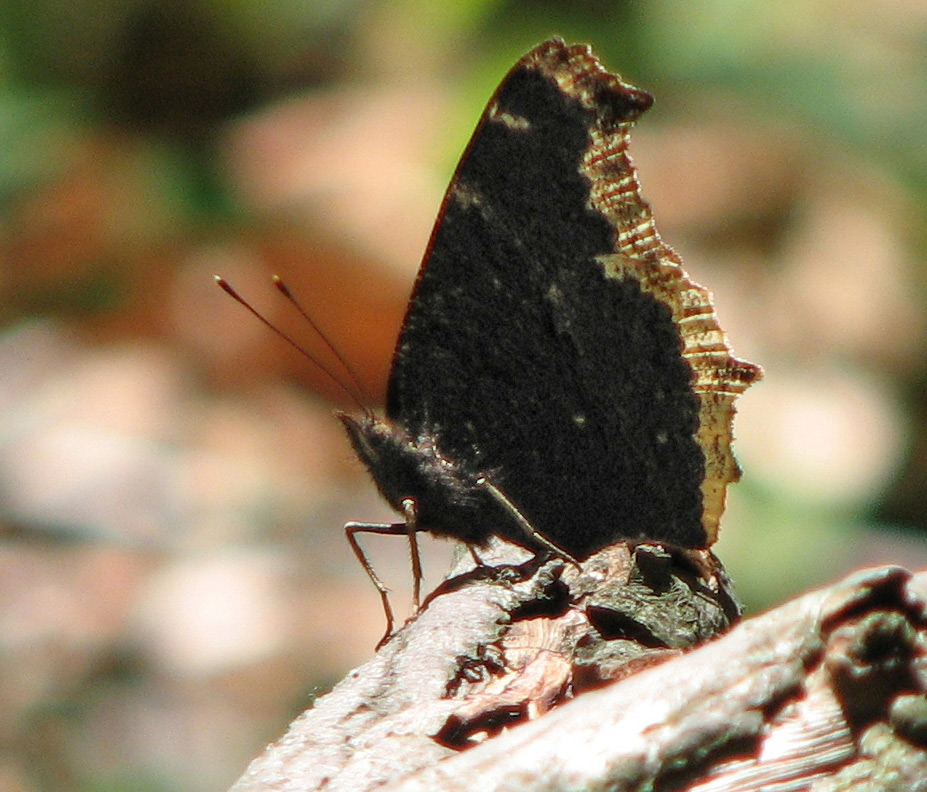 Mourning cloak butterfly on a log at Highbanks Metro Park is a harbinger of spring.