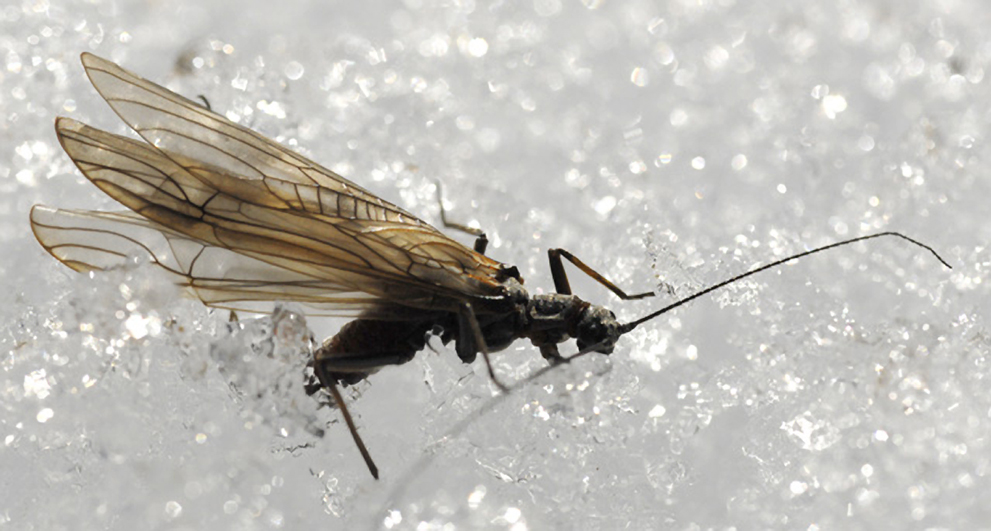 Insects like this stone fly can cope with intense cold and even live under ice.