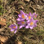 Clump of crocuses in woods at Inniswood