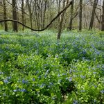 Wide spread of bluebells in forest at Scioto Grove