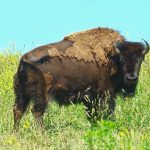 Bison stands in the prairie at Battelle Darby Creek