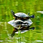 Turtle lies on top of a rock in wetland and basks in the sun