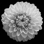 Dahlia at Inniswood photographed in black and white